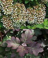 Hydrangea quercifolia in flower ('Snowflake') and in fall foliage, composite picture