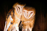 Barn Owls, Washington