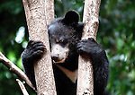 Asiatic Black Bear,  Ursus thibetanus, one of the thousands that would have ended up in Asian bear bile milking farms and is being cared for in Luang Prabang Laos.