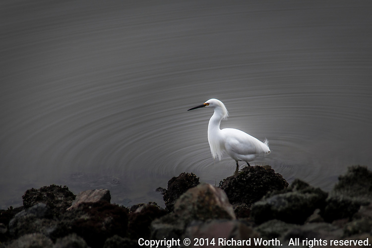 Concentric ripples radiate from the legs of a Snowy egret walking along the rocky shore of San Francisco Bay.