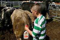 A boy cleans his cow with Flash bleach spray before competing in the town and country fair, Miltown Malbay, County Clare. Picture James Horan