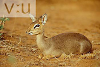 A Guenther's Long Snouted Dik-Dik ,Rhynchortragus guentheri, Samburu National Game Reserve, Kenya