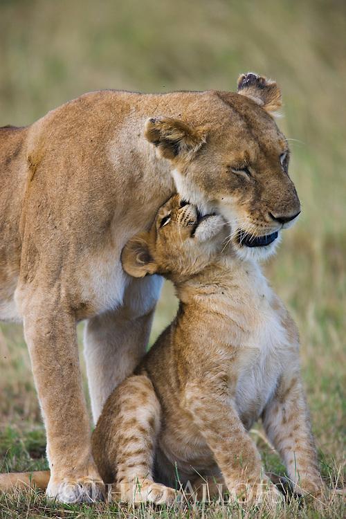 Lion (Panthera leo) mother cuddling with cub, Maasai Mara, Kenya