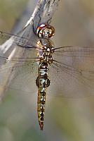 342950017 a wild spot-winged glider pantala hymenaea perches on a limb along a canal off jean leblanc road near bishop inyo county california united states