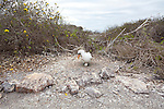 Genovesa Island with a large population of nesting sea birds in the Galapagos National Park, Galapagos, Ecuador. A Nazca Booby sitting on its egg in its nest on the ground.