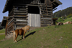 Shetland pony with it's long mane standing in front of wooden barn. Imst district, Tyrol, Austria.