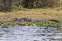 Nile Crocodile, Shire River, Liwonde NP, Malawi