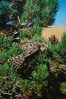 537410021 a juvenile northern goshawk accipiter gentilis a falconers bird takes flight from a pine tree to hunt in central colorado