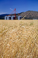 Field of wheat with grain silos - DORIS, CALIFORNIA