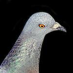 Rock Pigeon - Pigeons of Bolsa Chica, California. Photograph by Alan Mahood.
