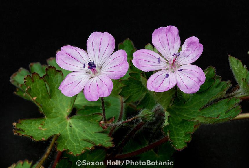 Geranium, Robin Parer Geraneaceae nursery