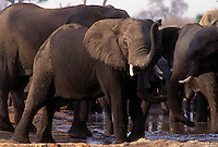 Late in the day thirsty ELEPHANTS drink at a watering hole in the SAVUTI MARSH - CHOBE NATIONAL PARK, BOTSWANA