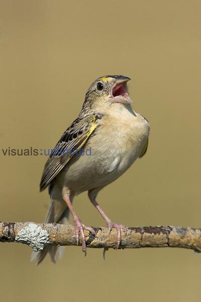 Grasshopper Sparrow (Ammodramus savannarum) singing on a branch, Ontario, Canada.