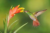 Rufous-tailed Hummingbird (Amazilia tzacatl), adult feeding from bromeliad flower,Mindo, Ecuador, Andes, South America