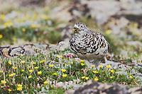 White-tailed Ptarmigan,Lagopus leucurus,adult male in summer plumage eating flowers on alpine tundra, Rocky Mountain National Park, Colorado, USA