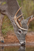 625350320 a wild whitetail deer buck odocoileus virginianus drinks from a small pond on beto gutierrez ranch in hidalgo county rio grande valley texas united states