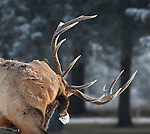 Bull elk licking his side