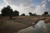 A shepherd and his flock of sheep drink water from the Khinchiyon Ki Dahipada village talab (a big pond with raised embankment). Local residents recently deepened the talab with help from the Jal Bhagirathi Foundation (JBF), a non-governmental organization promoted by the United Nations Development Fund and the Italian Development Cooperation. ..In five years since its inception the Jal Bhagirathi Foundation (JBF) has utilised traditional methods to revive more than 250 water harvesting structures in about 150 villages in Rajasthan's drought prone regions. JBF provides technical assistance and two-thirds the cost of a project, only after a village council has thoroughly discussed the issue and reached a unanimous decision. Villagers raise the initial funds by contributing according to their ability. The poor who cant spare any money offer free labour. By addressing the problem of water and uniting caste-ridden village communities, the water campaign has set in motion a silent revolution of far-reaching consequences. Infant mortality is going down. For women who have been liberated from the daily task of collecting water, literacy levels are on the rise. Stomach and skin ailments are showing signs of decrease. ..Photo: Tom Pietrasik.Khinchiyon Ki Dahipada, Barmer District, Rajasthan. India.September 17th 2007