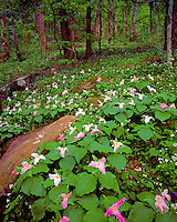 Trillium flowers, Great Smokey Mountains National Park, Tennessee, Trillium sp., Chimney's area