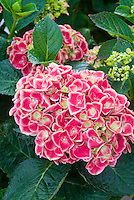 Hydrangea macrophylla Tivoli Red bicolor deep pink with white edges picotee, compact shrub