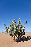 A rubberbush (Calotropis procera) against clear blue sky in the  Sahara desert, Chagaga, Morocco.