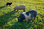 Dallie, an Australian Shepherd, moves warily around two escaped pigs while trying to decide whether to tangle with them. Pigs are quick.