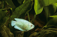 Neon-Zwergfadenfisch, Zwerg-Fadenfisch, Zuchtform, Trichogaster lalius, Colisa lalia, Dwarf gourami, Flame Gourami, Le Gourami nain, Labyrinthfische, Fadenfische