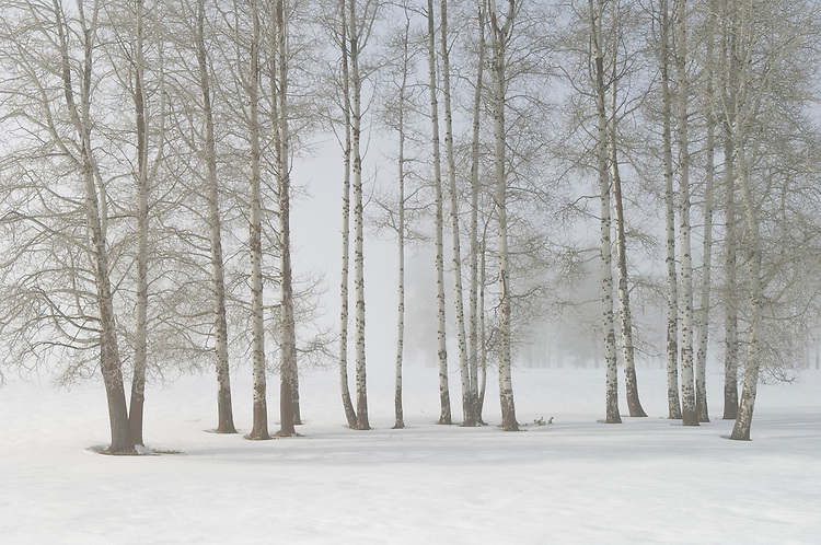 Aspen trees with fog and winter snow; Crater Lake Highway near Fort Klamath, Oregon.