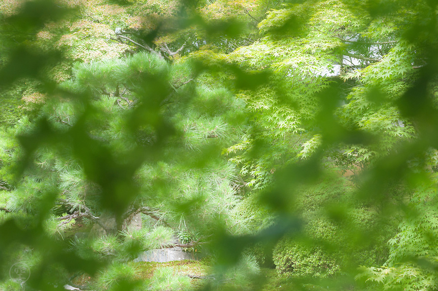 The karesansui garden at Tenju-an, Nanzenji Temple, seen through a screen of green momiji maple leaves.