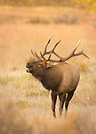 Bull Elk bugling during the elk rut