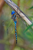 339360062 a wild male blue-eyed darner rhionaeschna multicolor perches on a plant stem along the jean blanc canal near bishop in inyo county california