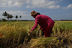 A Filipino woman harvests rice in Ilocos Norte, Philippines..**For more information contact Kevin German at kevin@kevingerman.com