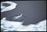Polar bear & cubs, Canada