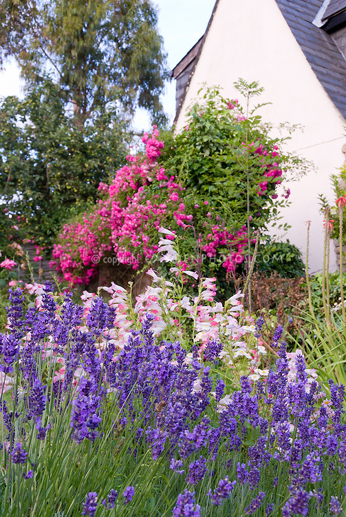 Penstemon and English lavender Lavandula angustifolia 'Hidcote' with pink roses Rosa bloom next to house
