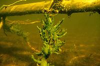 Underwater Scene-Freshwater Sponge<br /> <br /> ENGBRETSON UNDERWATER PHOTO