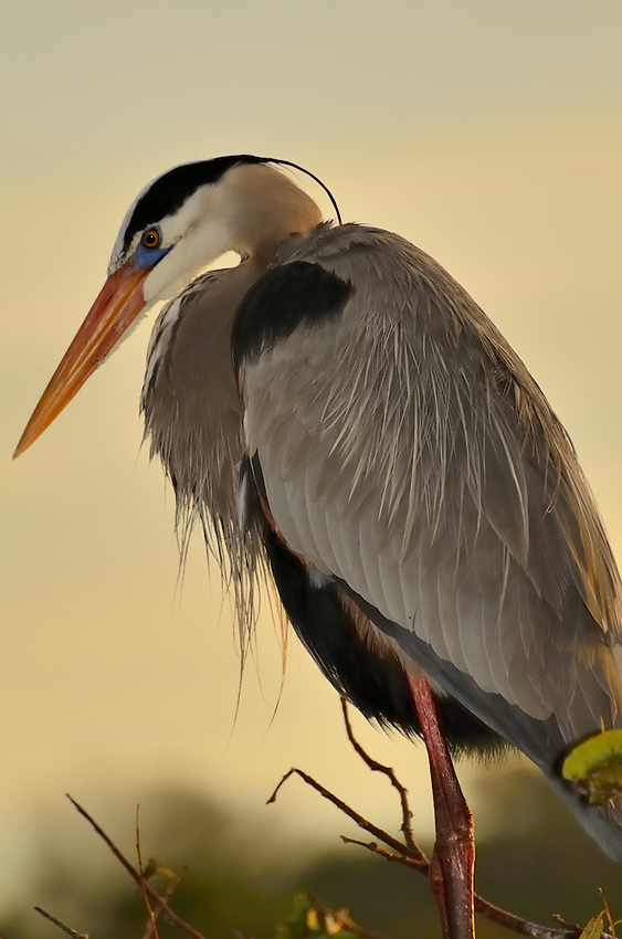 A great Blue Heron against a vanilla sunrise