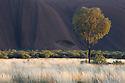 Australia, Northern Territory, Uluru-Kata Tjuta National Park; desert oak in grassland, Uluru in back.