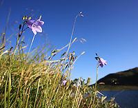 Bluebells by the lake Ramsjøen. Blåklokker overalt ved Ramsjøhytta og Fongen, Tydal.