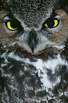 Great horned owl, Washington, USA