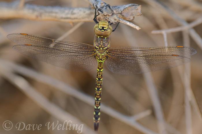 339360066 a wild female heteromorph blue-eyed darner rhionaeschna multicolor perches on a dead stick  in yuma county arizona