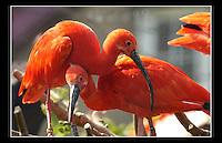 Scarlet Ibis (Eudocimus ruber) - Zoological Society of London - 16th June 2003