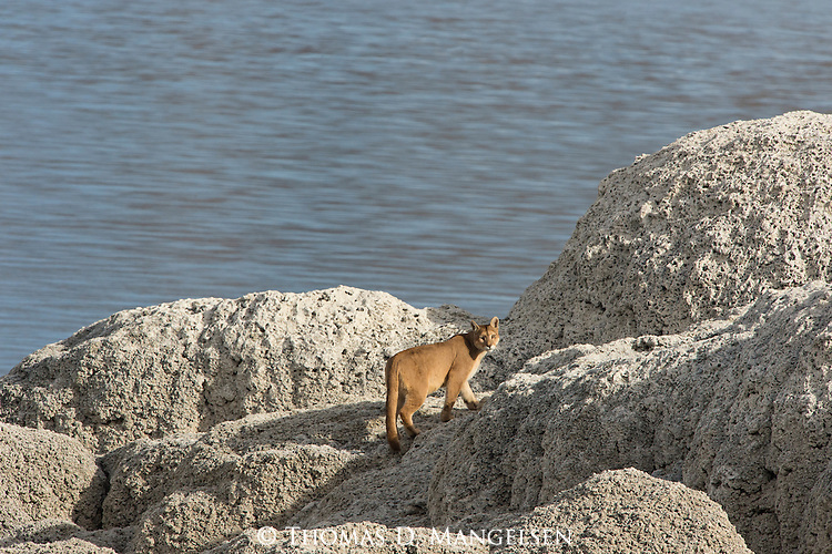 A Puma walks on the rocks along the water in Patagonia, Chile.