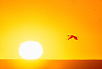 A Sandhill crane flies at sunset, Bosque del Apache National Wildlife Refuge, New Mexico, USA
