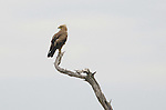 Tawny eagle (Aquila rapax), Kwara Reserve, Okavango Delta, Botswana