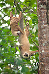 Two-toed sloth with baby in Cahuita National Park, on Costa Rica's southern Caribbean coast.