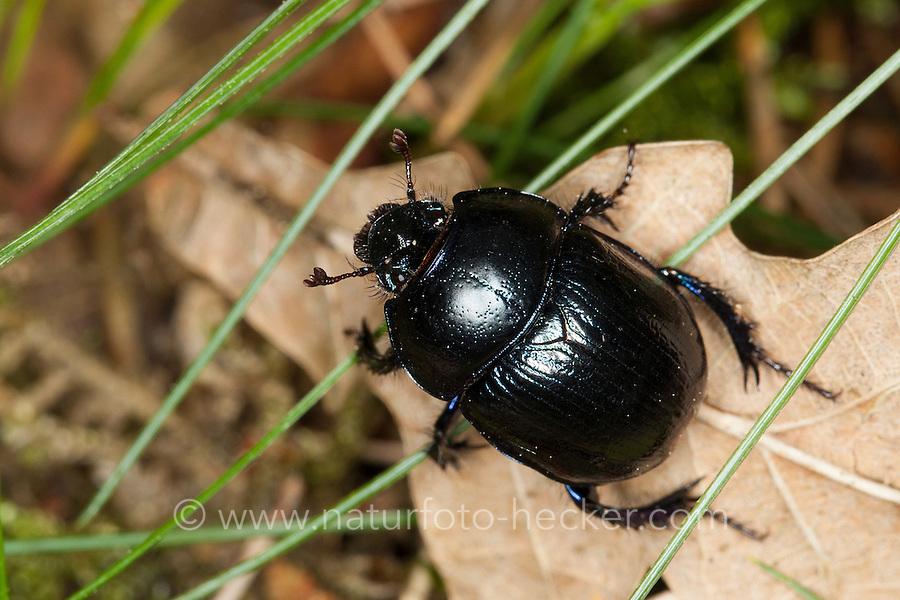 Waldmistkäfer, Wald-Mistkäfer, Mistkäfer, Anoplotrupes stercorosus, Geotrupes stercorosus, Rosskäfer, common dor beetle, Geotrupidae, dung beetles
