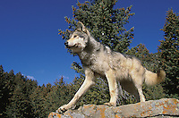 Mackenzie Valley or Canadian Gray Wolf (Canis lupus occidentalis), Canada.