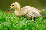 Mallard ducklings (Anas platyrhynchos) normally have large brown streak patterns in their down.  A recessive gene mutation caused his uniform blonde color.