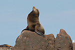 California sea lion bull