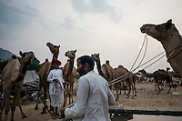 Camel owners bring their camels to drink water at Pushkar fair ground. Rajasthan, India.